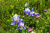 Columbines and other assorted wildflowers in the lush northeast basin of Grays and Torreys Peaks, Colorado Front Range.