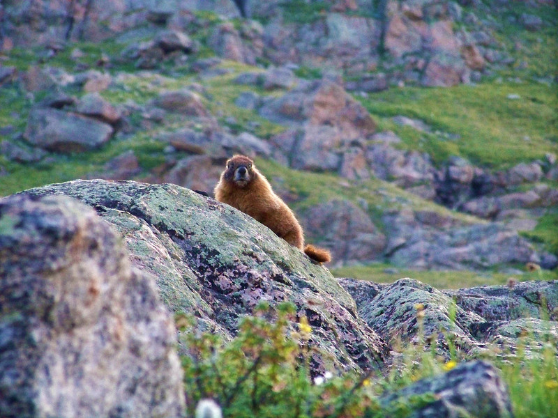 Marmot on the west slopes of Mt. Evans, Colorado Front Range