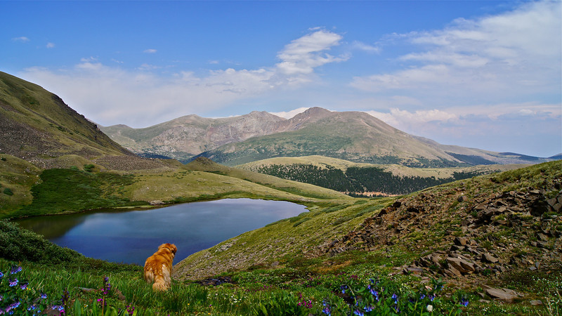 Golden Retriever Gretel stops to take in the view of Mt. Evans and Mt. Bierstadt from above Squaretop Moutain Lake; Colorado Front Range.