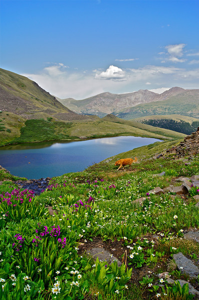 """""""Dog heaven.""""  Wildflowers at Squaretop Mountain Lakes directly west of Mt. Evans and Mt. Bierstadt. Colorado Front Range."""