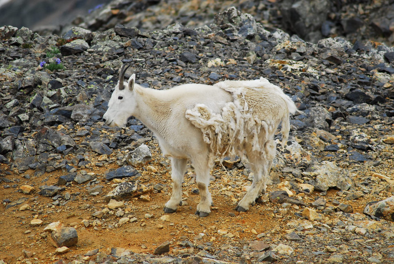 """Mr. Mountain Goat. We encountered one another right as I started my descent off Grays Peak. He was coming up the trail and my first thought was """"How lucky am I to have my camera at a rare wild moment like this?!"""" As he came closer and closer to me on his way up the trail I kept clicking off fotos. I believed at any minute he was going to see / hear me, spook, then bound off in the rocks and I would get some action shots of a real wild animal. As he got closer I just kept my eye in my camera and pulling back the zoom. Then I couldn't pull the zoom any further back and I finally took the camera from my eye as Mr. Mountain Goat was more or less staring me in the face. I calmly gave up the trail; because of course he was headed up and I down, ettiquite dictates this. Snapping him was very rewarding since I had just had a brief encounter with the wild! Then I became a little deflated in my efforts as I watched him follow the same trail to the Peak and wander through the crowd atop Grays as if to say """"WOW, big crowd today! How you doin'? I'm a wild Mtn. Goat; wanna take a picture of me?"""" I mean it was almost like a petting zoo up there. Oh well:)"""