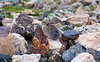 This Pika tries to blend with the rocky landscape on the slopes of Mt. Lincoln.  Colorado Mosquito Range