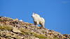 A strong, stately Mountain Goat on Quandary Peak's east ridge, Colorado Tenmile Range.