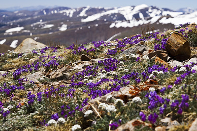 Another view of the amazing wildflowers on Mt. Cameron