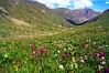 Wildflowers in the lower American Basin beneath Handies Peak; Colorado San Juan Range.