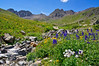 A wide variety of wildflowers grow  in the American Basin beneath Handies Peak; Colorado San Juan Range.