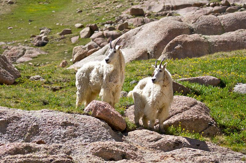 Twin Mountain Goats at Twin Lakes; Colorado San Juan Range