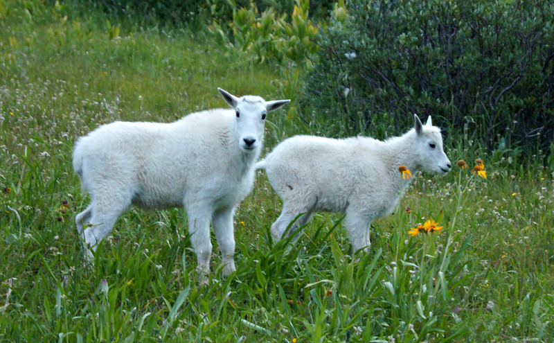 Baby Mountain Goats in the upper Chicago Basin, Colorado San Juans.