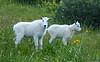 Baby Mountain Goats in the upper Chicago Basin, Colorado San Juans.