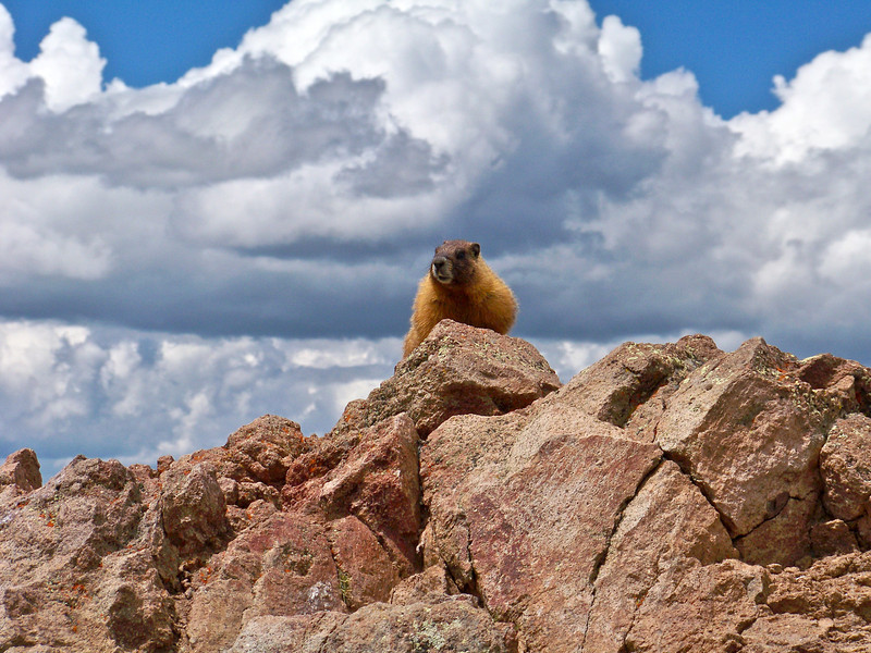 Marmot perched on the summit of Uncompahgre Peak, Colorado San Juans