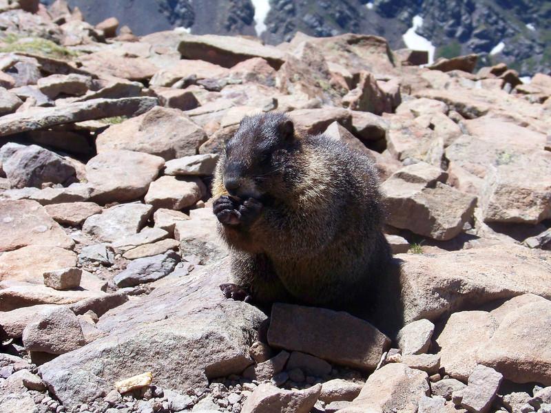 A friendly marmot enjoys some lunch on the Humboldt summit, Sangre de Cristo Mountains