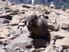 A friendly marmot enjoys some lunch on the Humboldt summit, Sangre de Cristo Mountains