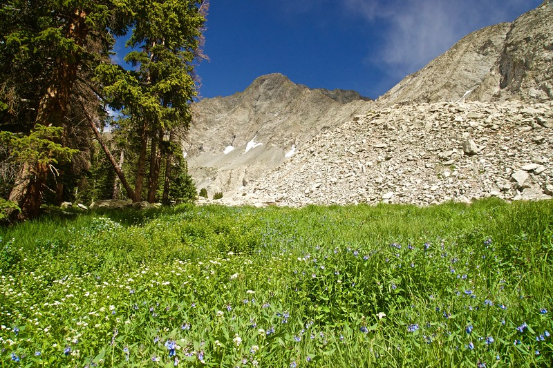Lush alpine grass and wildflowers contrast the stark north face of Little Bear Peak; Colorado Sangre de Cristo Range