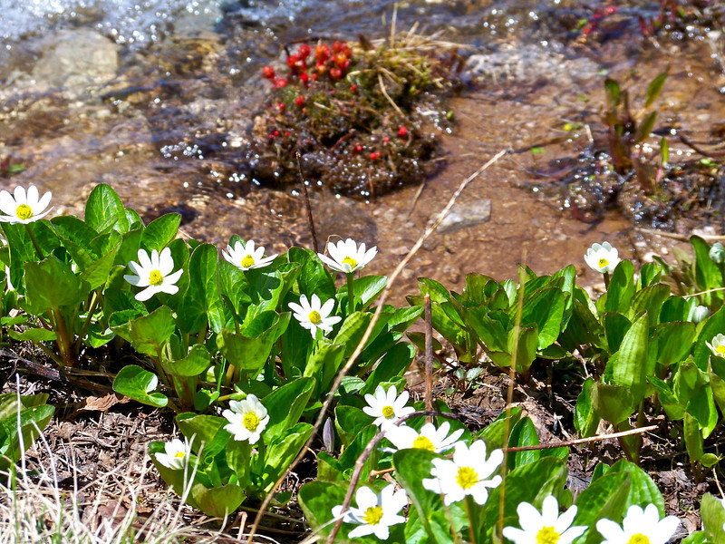 Numerous wildflowers thrive in the moist tundra of Huron Peak at 12,500 ft.; Colorado Sawatch Range.