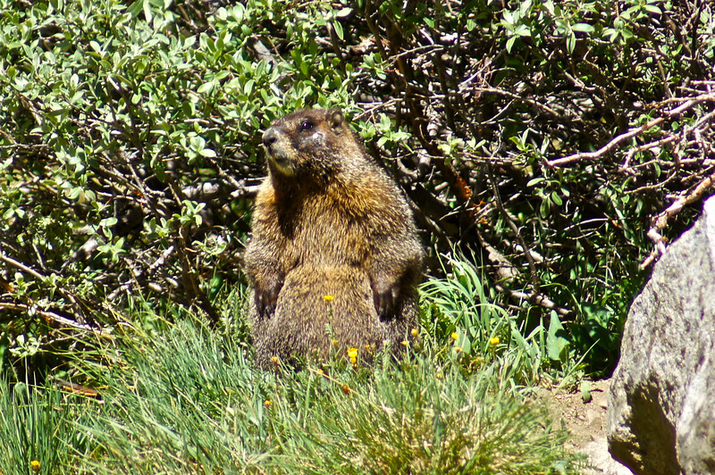 This Yellow-bellied Marmot shows off his ample belly; Missouri gulch, Colorado Sawatch Range