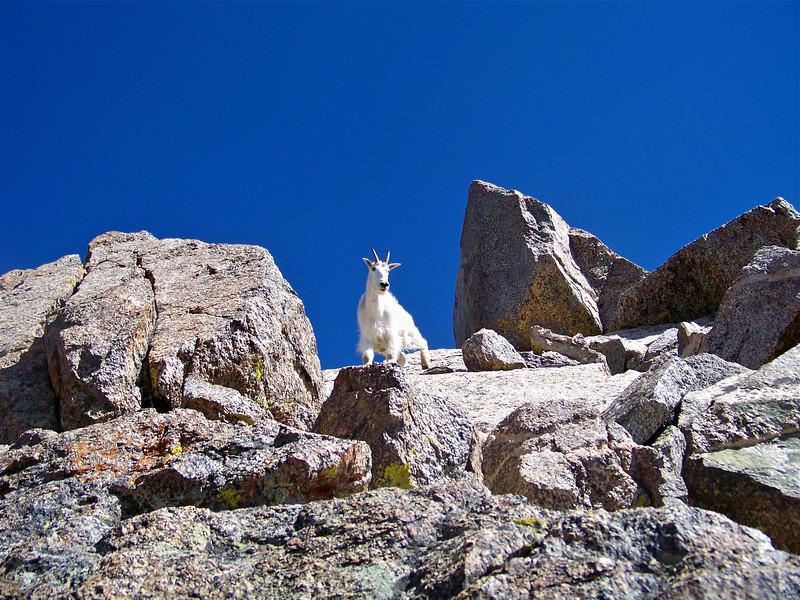 Mountain Goat on the summit of Mt. Harvard, Colorado