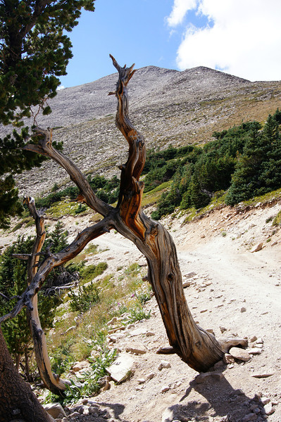 An ancient bristlecone pine trunk stands near the treeline on Mt. Princeton's east face; Colorado Sawatch Range.