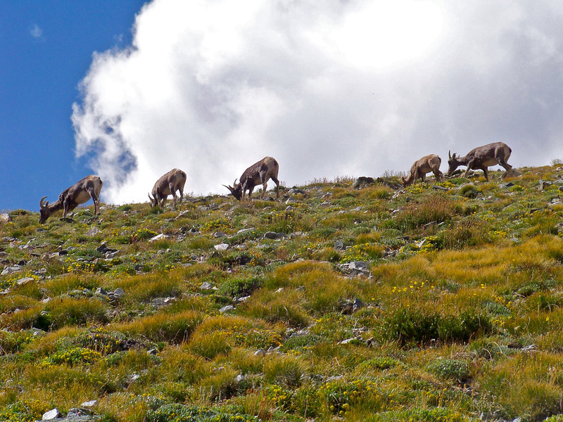 Female Bighorn Sheep on the east slopes of Mt. Shavano, Colorado Sawatch Range
