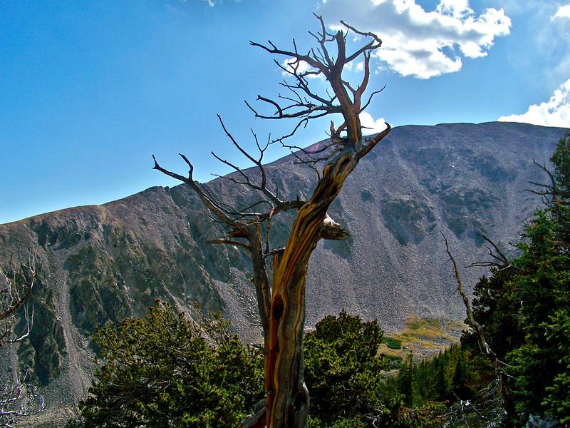 An ancient Bristlecone Pine at 12,000 ft. on Mt. Shavano, Colorado Sawatch Range.