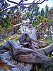 An ancient, wind twisted Bristlecone Pine log on the Mt. Shavano trail