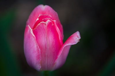 Pink Tulip, 2015 Discovery Center - In My Own Backyard