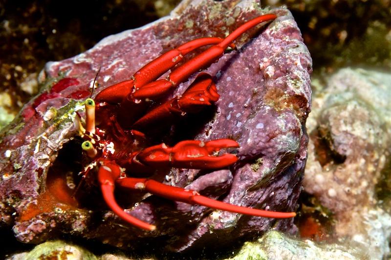Redreef Hermit Crab