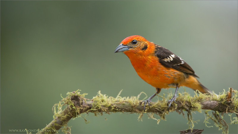 DSC_9968 Flame Coloured Tanager 1600 share