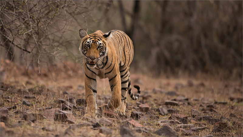 RJB_1643 Royal Bengal Tiger Cub 1600 share