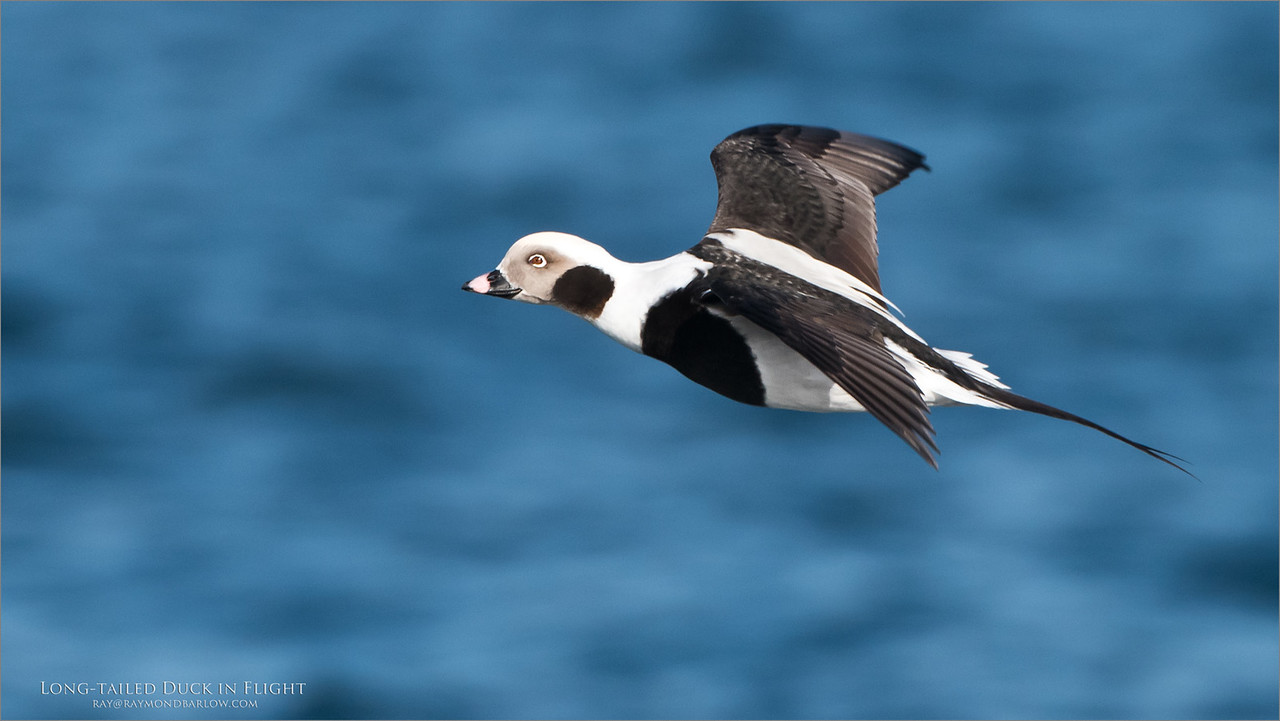 Long-tailed duck in Flight<br /> Raymond's Ontario Nature Photography Tours<br /> <br /> ray@raymondbarlow.com<br /> Nikon D810 ,Nikkor 200-400mm f/4G ED-IF AF-S VR<br /> 1/2500s f/5.6 at 400.0mm iso640