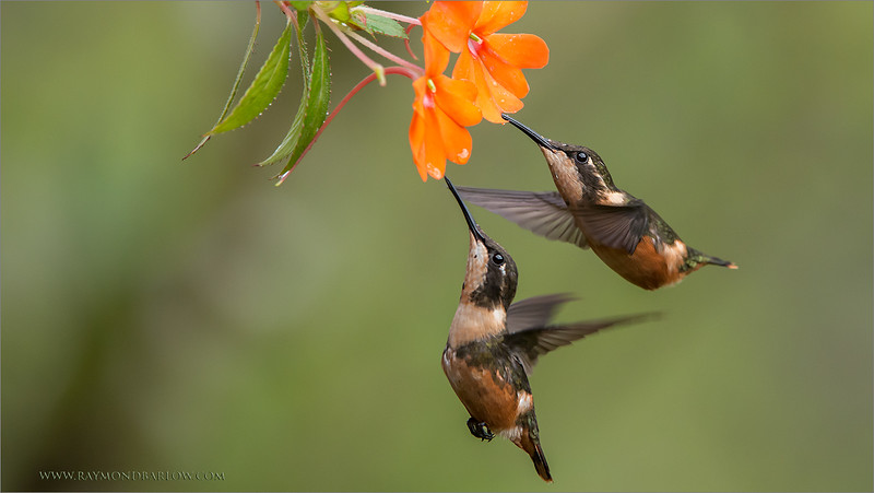 "Two pretty Females -<br /> <br /> Coming into one flower for a drink.  This is always a hopeful scene to capture, finding 2 hummingbirds that are both sharp and on a nice flower. <br /> <br /> We sure had some fun in Ecuador!<br /> <br /> I really look forward to the next tour.<br /> <br /> Best regards, thanks for looking.<br /> ray@raymondbarlow.com<br />  <a href=""http://www.raymondbarlow.com"">http://www.raymondbarlow.com</a><br /> <br /> Female Woodstars.<br /> Ecuador Tours with Raymond.<br /> <br /> 1/1600 sec;   f/7.1;   ISO 2500<br /> @ 350 mm.<br /> <br /> 300th image in the G+ nature images  gallery since I started., 33 million views!<br /> <br /> thanks so much to everyone!"