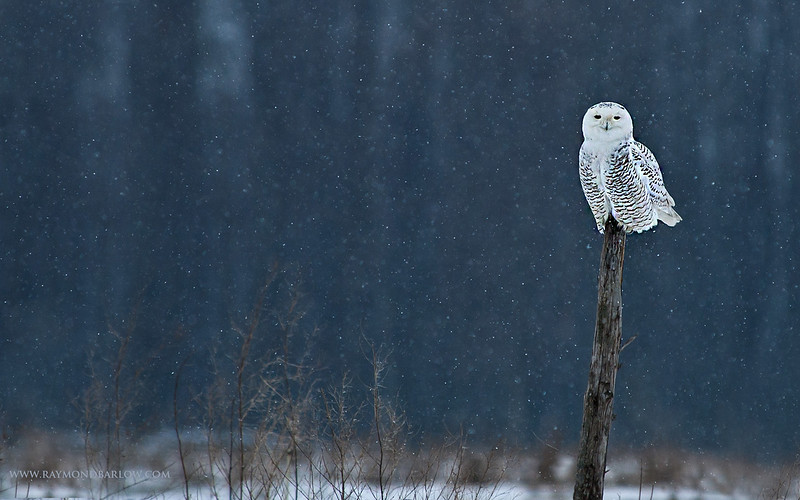 January 2, 2006<br /> <br /> Snowy owl<br /> <br /> Nikon d70 + 80-400 Gear drive.<br /> <br /> With buddy Eric Dumigan!<br /> <br /> Thanks for looking!