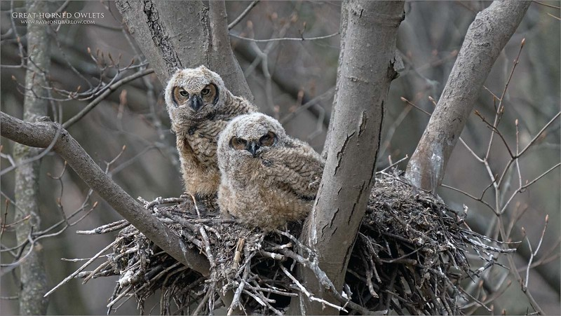 Sweet owlets! 2<br /> <br /> It was so nice to see two young owls growing up fast, and getting ready for the real world.<br /> <br /> I was very lucky to have a friend share this info on the location, with this superb topside view.   A bit difficult with the breeze to get a real sharp shot, but these 2 images came out ok.  I hope to try again soon!<br /> <br /> Beautiful and real nature.