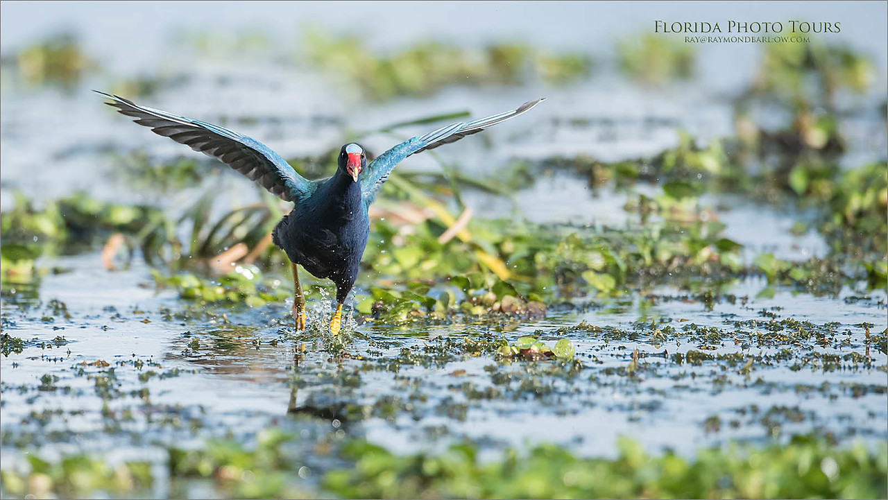 Purple Gallinule on the Run - Florida tours<br /> Raymond Barlow Photo Tours to USA - Wildlife and Nature<br /> <br /> ray@raymondbarlow.com<br /> Nikon D810 ,Nikkor 600 mm f/4 ED<br /> 1/5000s f/4.0 at 600.0mm iso1000