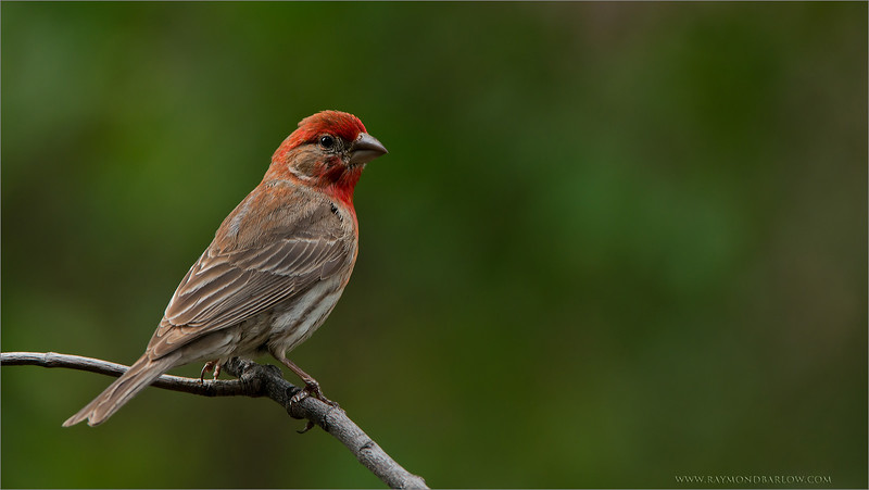 RJB_9932 House finch 1600 share