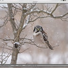 A 3 image series, cropping to 100% with this Northern Hawk Owl image. <br /> <br />  Camera kit supported with the Jobu Algonquin Tripod, and the Jobu Jr. gimbel head.   This is the original file, slightly adjusted.<br /> <br /> Full frame Sony a7r4 camera, and the 100-400 GM Sony lens<br /> <br /> ps., I was quite cold and shivering!!