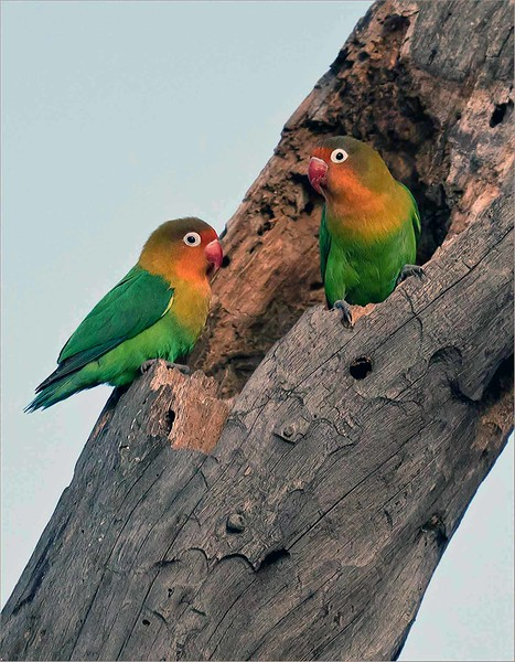 Beautiful Lovebirds<br /> <br /> We had a rare treat to catch these sweet Fischer's lovebirds in a nice pose, on s decent perch.  After 7 tours to Tanzania, this was my only good shot at the colourful lovebirds. <br /> <br /> I would guess that this is a nesting location, with an adult pair guarding the front opening.<br /> <br /> Lovebirds come by their name honestly, as scientific studies have proven that they do mate for life.  Adorable and colorful, sadly they are abuse and poached into the pet trade.<br /> <br /> This chance didn't last very long, but wow were we lucky to have a chance with them for a few minutes!<br /> <br /> Awesome Tanzania!
