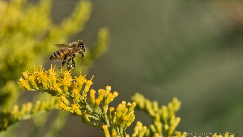 Honey Bee Lift Off