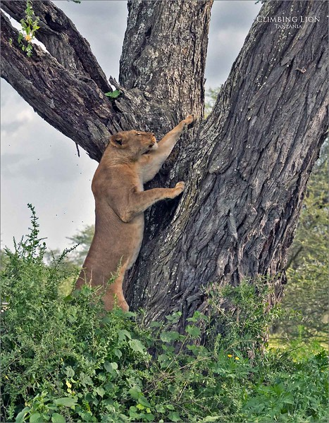 A first! - Image 1.<br /> <br /> Here we have a female lion climbing large a tree.  It was amazing to watch her make decisions on her approach to tackle the climb of this tree.  She very carefully managed exactly how she was going to get to the best possible resting place near the top of the tree.<br /> <br /> Also, it is very possible since darkness was not far away, she was preparing for a hunt from the perch in the tree during the night.<br /> <br /> We were not able to wait for that event, and all trucks need to be off the road before darkness.<br /> <br /> This was quite an interesting scene, as she worked her way up the tree with skill and determination.  She made it look very easy!<br /> <br /> Awesome!
