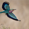 """Lift Off!!<br /> <br /> Waiting at least 10 minutes for this bird to take off was fun!  Which direction would it fly?  Being 100% ready every second is the key to success here, as this bird is very fast!<br /> <br /> The Lilac breasted roller hunts from low positions, so it can see bug fly overhead against the sky.  It will dart off the perch, race into the sky, and capture the prey!<br /> <br /> One of my top favourites, as this bird has wonderful colours.<br /> <br /> Raymond<br /> <br /> My next tour to Africa - pls click! <br /> <br /> <a href=""""http://tinyurl.com/nnovq9a"""">http://tinyurl.com/nnovq9a</a><br /> <br /> Lilac Breasted Roller<br /> RJB Tanzania, Africa Tours<br /> 1/1600s f/4.0 at 400.0mm iso200"""