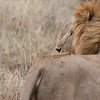Male Lion Watching his Cubs<br /> Raymond Barlow Photo Tours to Tanzania Wildlife and Nature<br /> ray@raymondbarlow.com<br /> <br /> Tanzania Tour coming in February 2017<br /> <br /> Nikon D800 ,Nikkor 200-400mm f/4G ED-IF AF-S VR<br /> 1/80s f/7.1 at 380.0mm iso1000