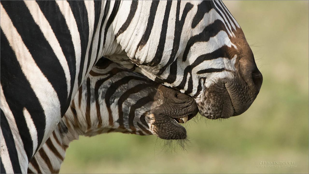 Close ups in Africa! - opportunities are abundant!  We can have Zebra as close as 10 yards to the safari truck or less.  An intimate view presented here between  the adult female and her foal.  Such superb gifts of nature for us to enjoy.<br /> <br /> Zebra in Touch<br /> Raymond Barlow Photo Tours to Tanzania Wildlife and Nature<br /> <br /> ray@raymondbarlow.com<br /> Nikon D850 ,Nikkor 200-400mm f/4G ED-IF AF-S VR<br /> 1/1000s f/6.3 at 400.0mm iso800