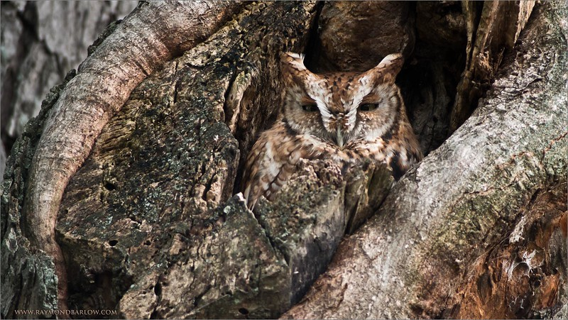 Screetch Owl<br /> Raymond's Ontario Nature Tours<br /> <br /> ray@raymondbarlow.com<br /> Nikon D810 ,Swarovski Spotting Scope 95 mm<br /> 1/100s f/9.0 iso500
