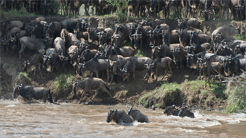 Wildebeests Crossing at the Mara River<br /> RJB Tanzania, Africa Tours<br /> Nikon D800 ,Nikkor 200-400mm f/4G ED-IF AF-S VR<br /> 1/250s f/9.0 at 400.0mm iso320
