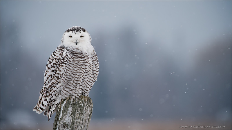Snowy Owl in a Snow Storm<br /> Raymond's Ontario Nature Tours<br /> <br /> *Snowy Owl * Adventures*<br /> ray@raymondbarlow.com<br /> Nikon D810 ,Swarovski Spotting Scope 95 mm- 1370mm Eff.<br /> 1/640s f/9.5 iso250