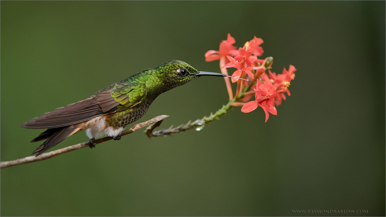 Buff-tailed Coronet in Ecuador<br /> Raymond's Ecuador Photography Tours<br /> <br /> Everyone in this very small world needs to do their<br /> part to protect our nature.. help save our planet!<br /> <br /> ray@raymondbarlow.com<br /> Nikon D810 ,Nikkor 200-400mm f/4G ED-IF AF-S VR<br /> 1/640s f/4.0 at 310.0mm iso3200