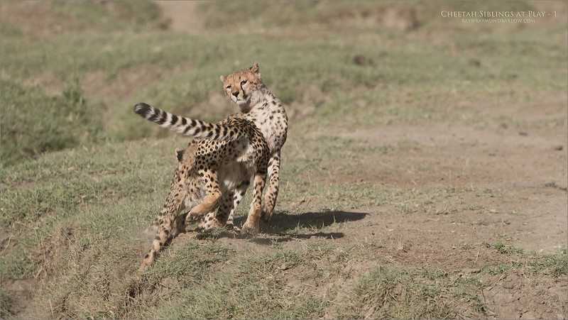 Cheetahs at Play Series 12 Shots  - Image 1 of 12<br /> <br /> A bit of a long story, but this morning of February 12th, 2018 was pretty amazing for our group. Our advance scouts found a mother cheetah, and her two cubs, about 10 minutes from our camp. We arrived at the scene, and fired several images of the three of them finishing their kill, then licking each others faces.<br /> <br /> Next, they were on the move, so I was looking off to the distance on my right, I saw they were heading for water. Easily keeping in front of their track, we maneuvered into several seriously good angles for photography.<br /> <br /> So here, I have skipped to the play fight... after they had all drank some water, the 2 cubs began to jump around and carry on like kittens.<br /> <br /> 165 images later, I was almost in shock.. the D850 captured every image in excellent focus and exposure. Early am harsh light was not bad, the environment was sweet, and the action intense!<br /> <br /> With this particular scene, we saw and captured a giant leap, one cheetah thought it was a bird for a second! Here are the first 3 shots, the next 3 shots show the cheetah even higher in the air, and landing... I will try to add the next three tomorrow.<br /> <br /> This reminds me of the Great Tiger battle, take a few years ago in India, with Margaret Keller. that to was pretty awesome to see.<br /> <br /> Somehow, luck follows me around., I can't explain that. I thank my brother Nas for getting me started in Tanzania!<br /> <br /> Thanks for looking.<br /> <br /> Cheetah Siblings at Play<br /> Raymond Barlow Photo Tours to Tanzania Wildlife and Nature<br /> Nikon D850 ,Nikkor 200-400mm f/4G ED-IF AF-S VR<br /> 1/4000s f/5.0 at 400.0mm iso400