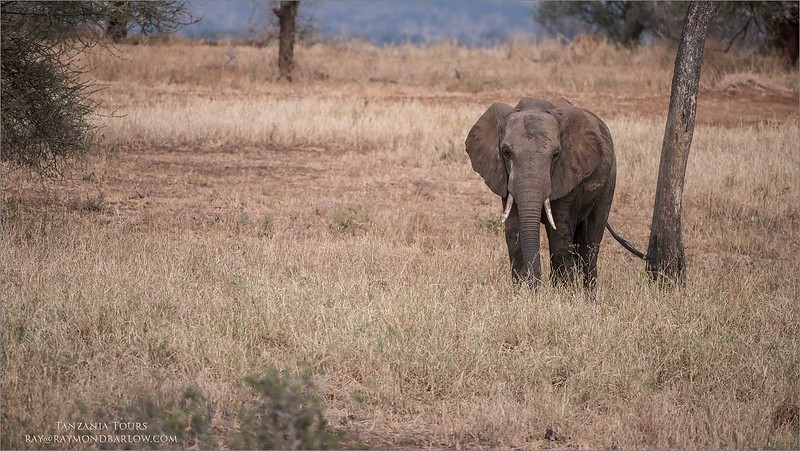 Tarangire National Park - Elephant<br /> Raymond Barlow Tours to Tanzania Wildlife and Nature<br /> <br /> ray@raymondbarlow.com<br /> Nikon D810 ,Nikkor 200-400mm f/4G ED-IF AF-S VR<br /> 1/400s f/4.0 at 360.0mm iso1250