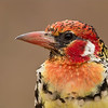Red and Yellow Barbet in Africa<br /> Raymond Barlow Photo Tours to Tanzania Wildlife and Nature<br /> Canon EOS 70D ,Swarovski Spotting Scope 95 mm<br /> 1/160s f11 iso320