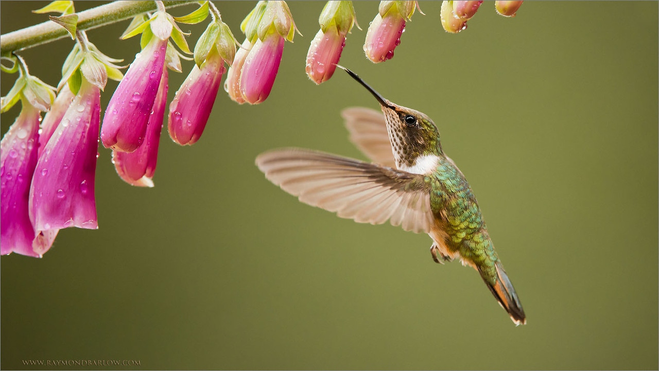 Tiny Volcano Hummingbird<br /> raymond in Costa Rica<br /> <br /> ray@raymondbarlow.com<br /> Thanks for looking!