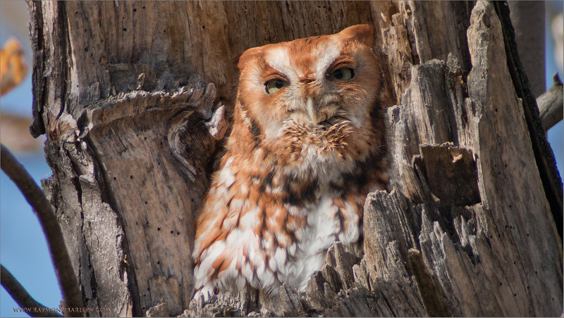 Eastern Screech Owl<br /> RJB Wild Birds of Ontario Workshops<br /> Canon EOS 70D<br /> Swarovski Telescope STX 30 x 95mm - 1350 mm<br /> 1/200s f9.5 iso200